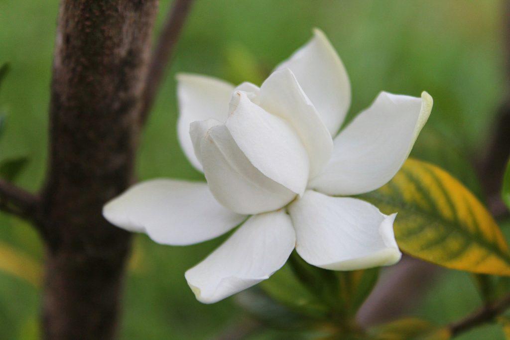 best fertilizer for gardenia