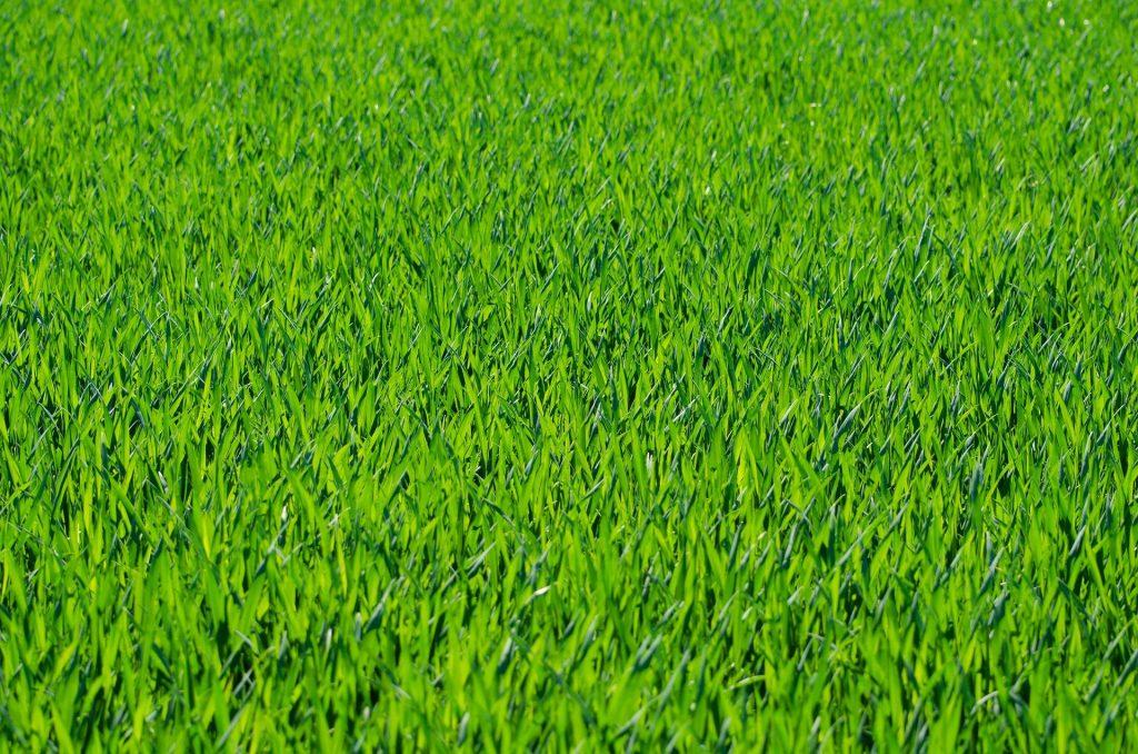 best fertilizer for fescue grass