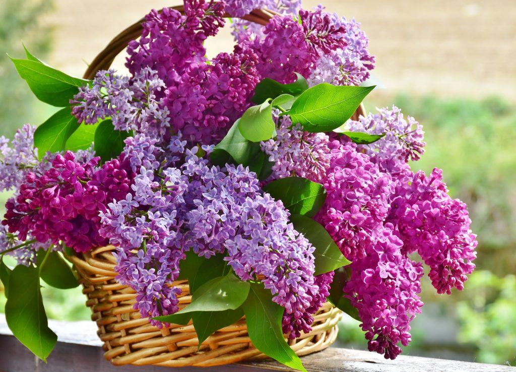 best fertilizer for lilacs