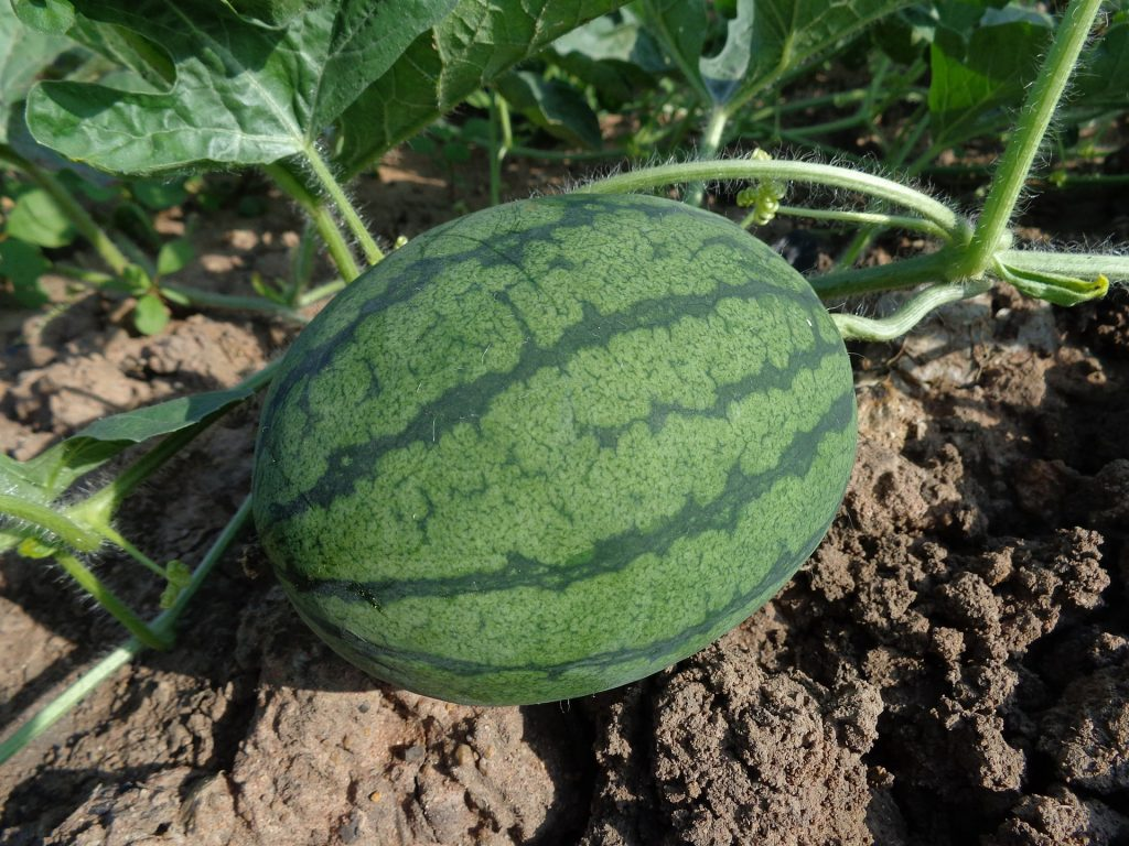 best fertilizer for watermelons