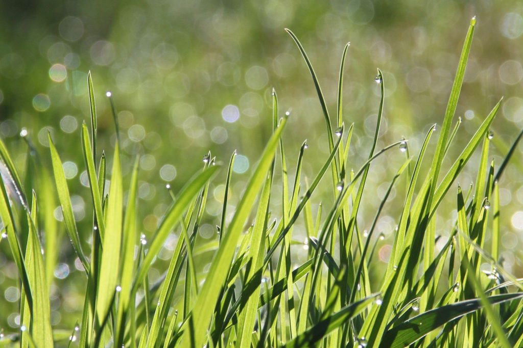 Best Grass for Southern California