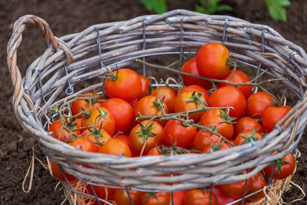 how often to fertilize tomatoes