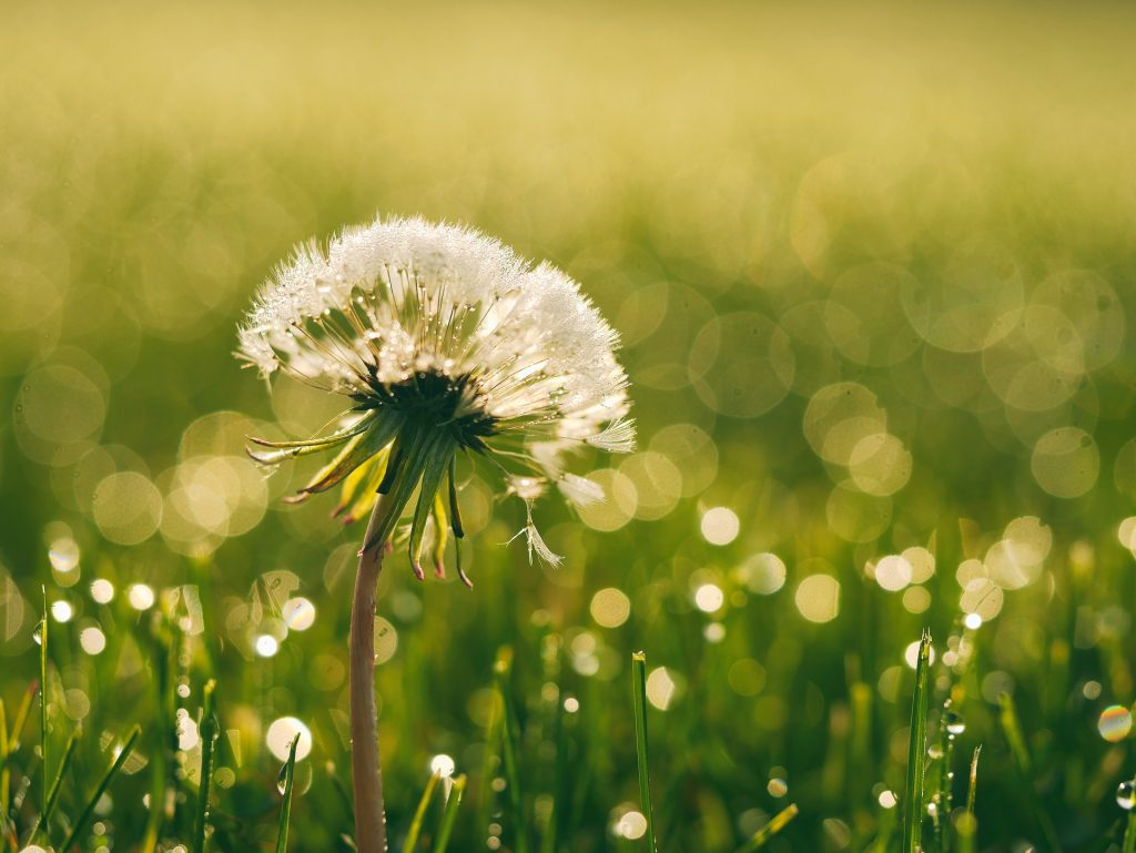how to get rid of dandelions