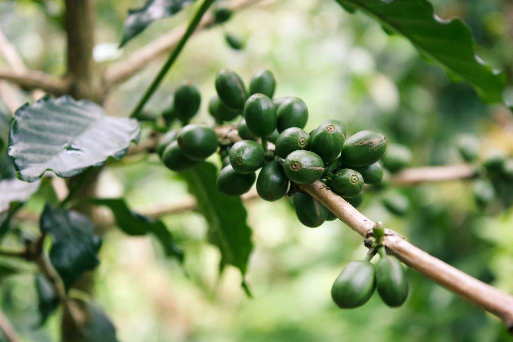 growing coffee plants indoor