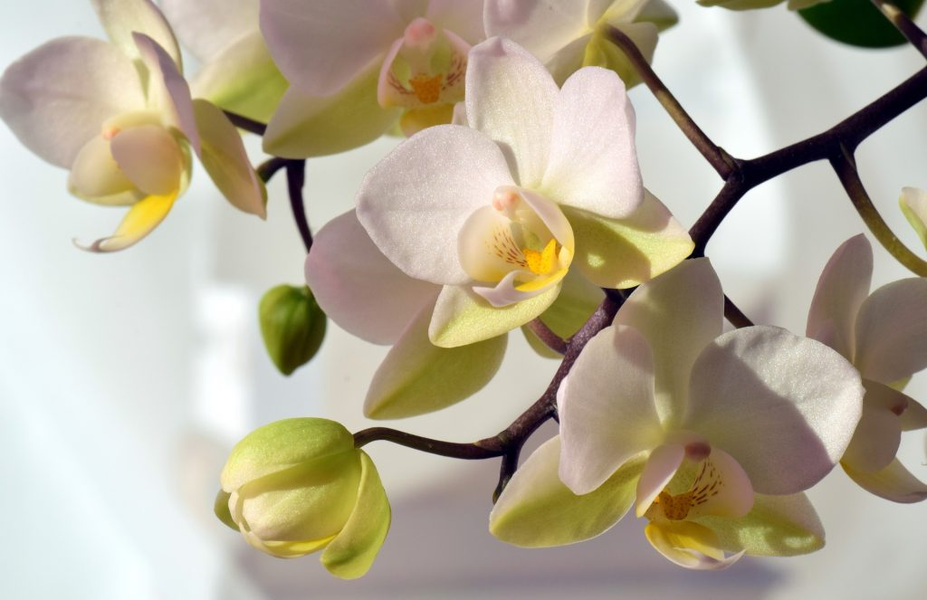 how to grow orchids indoor