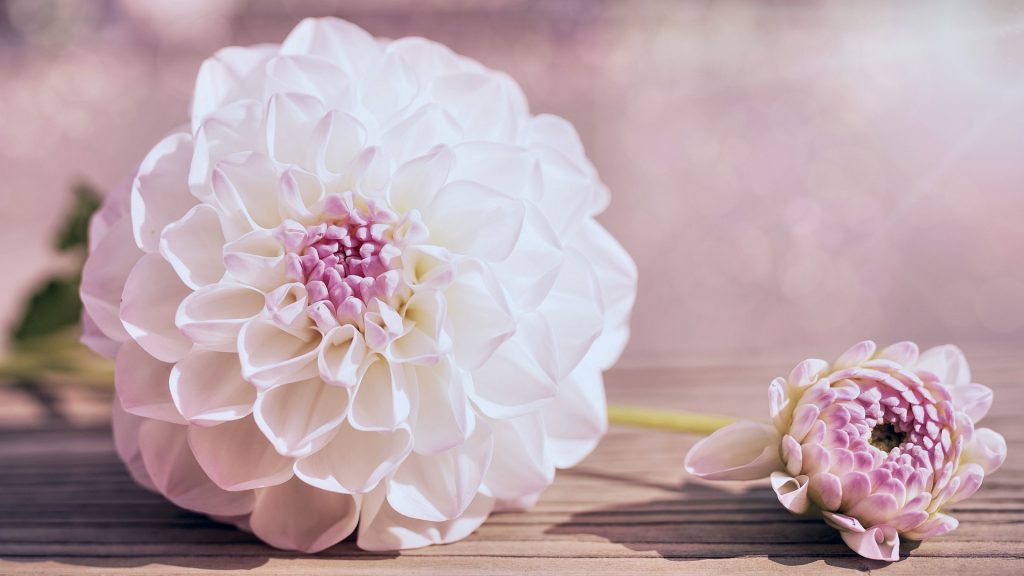how to care for dahlias in a pot