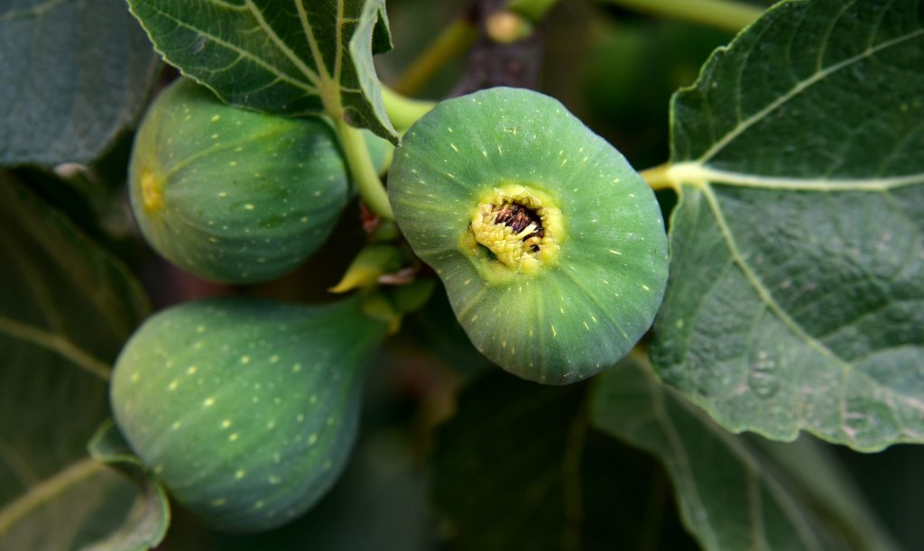 how to grow a fig tree plant