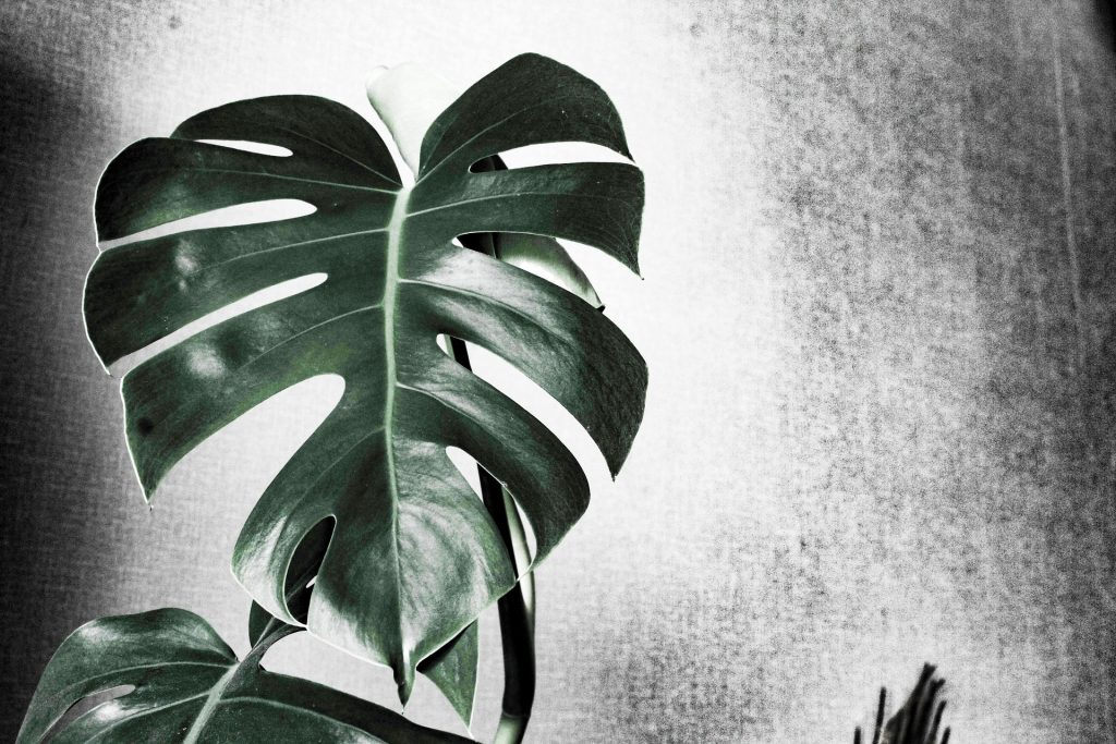 how to care for monstera plant indoor