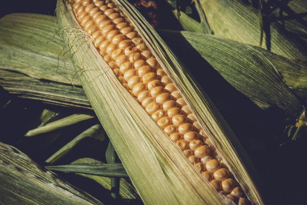 companion plants for corn